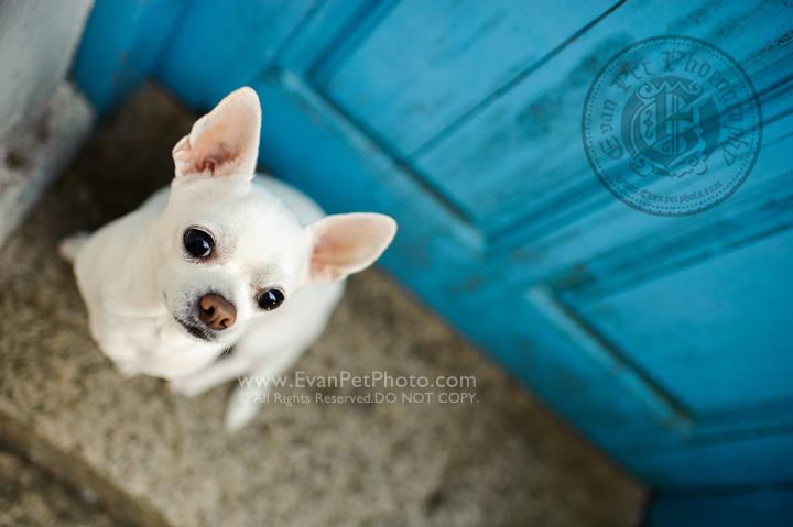 寵物攝影,寵物拍攝,專業寵物攝影,狗狗攝影,寵物寫真,寵物攝影服務,攝影服務,戶外寵物攝影,戶外狗狗攝影,專業戶外寵物攝影,香港寵物攝影,hong kong pet photographer, pet photography hong kong,寵物攝影師,香港寵物攝影師,dog photograph, hong kong dog photography, chiwawa,芝娃娃,山頂公園, outdoor pet photography hong kong, the peak garden