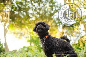 hong kong pet photographer, pet photography hong kong, 寵物寫真, 寵物攝影, 寵物攝影師, 寵物攝影服務, 專業寵物攝影, 專業戶外寵物攝影, 戶外寵物攝影, 戶外狗狗攝影, 攝影服務,poodle, poodle photography, 狗狗攝影, 香港寵物攝影師