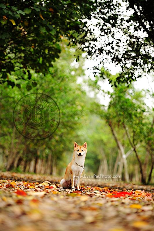 寵物攝影,專業寵物攝影,狗狗攝影,寵物寫真,寵物攝影服務,攝影服務,戶外寵物攝影,戶外狗狗攝影,專業戶外寵物攝影,hong kong pet photographer, pet photography hong kong,寵物攝影師,香港寵物攝影師, outdoor pet photography hong kong,柴犬,南生圍, shiba, shiba photo, shiba photography