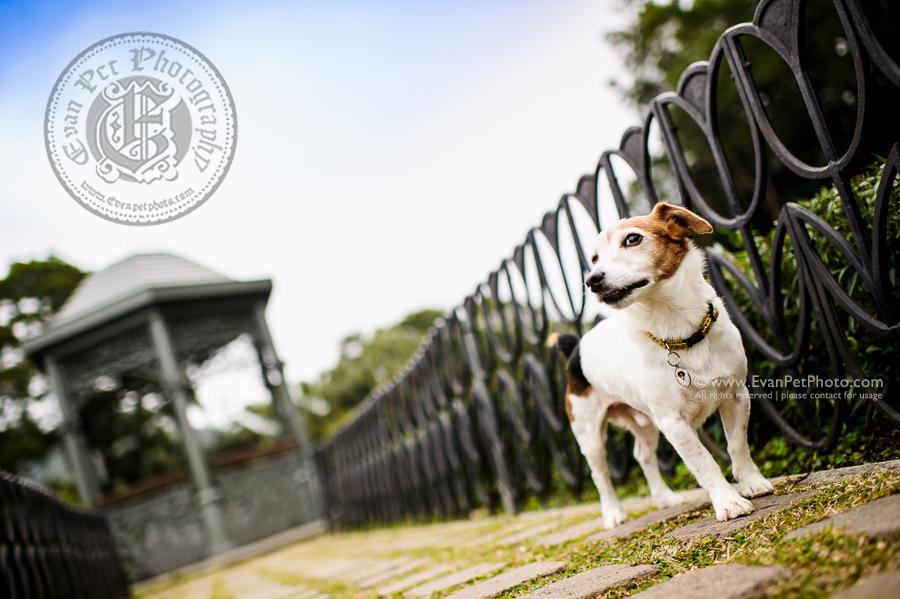 寵物攝影,專業寵物攝影,狗狗攝影,寵物寫真,寵物攝影服務,攝影服務,戶外寵物攝影,戶外狗狗攝影,專業戶外寵物攝影,hong kong pet photographer, pet photography hong kong,寵物攝影師,香港寵物攝影師, outdoor pet photography hong kong,Jack Russell,積羅素