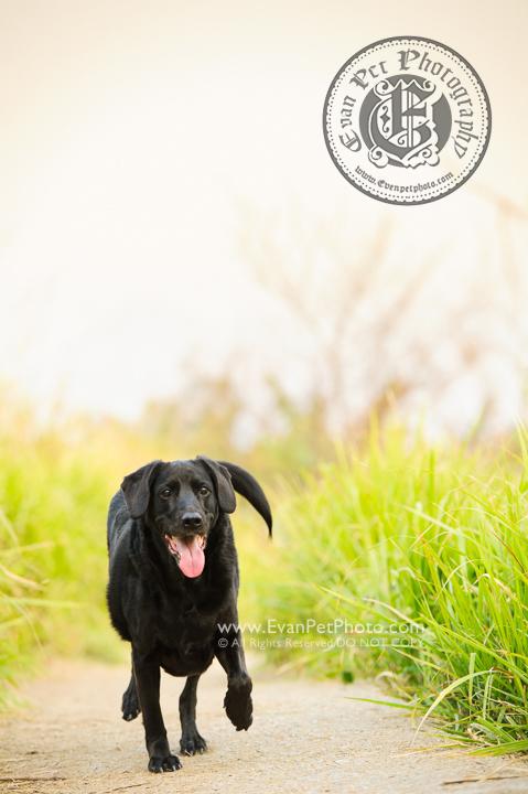 寵物攝影師,香港寵物攝影師, 拉布拉多犬,拉布拉多, 拉布拉多攝影, 寵物攝影,專業寵物攝影,狗狗攝影,寵物寫真,寵物攝影服務,攝影服務,戶外寵物攝影,戶外狗狗攝影,專業戶外寵物攝影,hong kong pet photographer, pet photography hong kong,outdoor pet photography hong kong, dog photo, dog picture, dog photography, hong kong dog photography, Labrador Retriever, Labrador Retriever photography, outdoor dog photography