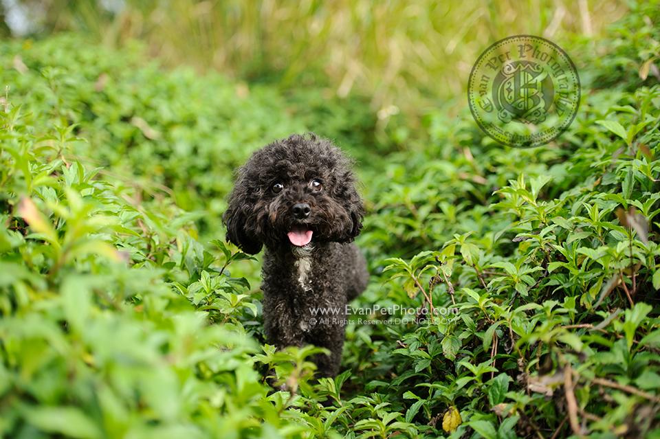 寵物攝影,專業寵物攝影,狗狗攝影,寵物寫真,寵物攝影服務,攝影服務,戶外寵物攝影,戶外狗狗攝影,專業戶外寵物攝影,hong kong pet photographer, pet photography hong kong,寵物攝影師,香港寵物攝影師,poodle, 貴婦狗, outdoor pet photography hong kong