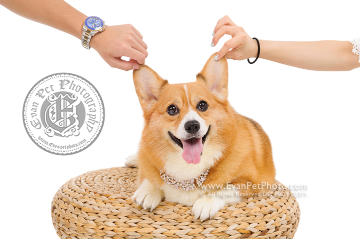 Dog Photography, Studio Dog Photography, 影樓寵物攝影, 哥基犬, corgi photography, 哥基犬攝影, 寵物攝影, 寵物影樓, 狗影樓, dog studio, 香港寵物影樓