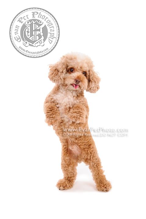 Dog Photography, Studio Dog Photography, 影樓寵物攝影, 貴婦犬, 貴婦狗, poodle, poodle photography, poodle 攝影, poodle 影樓, 貴婦狗攝影, 寵物攝影, 寵物影樓, 狗影樓, dog studio, 香港寵物影樓, 專業寵物影樓