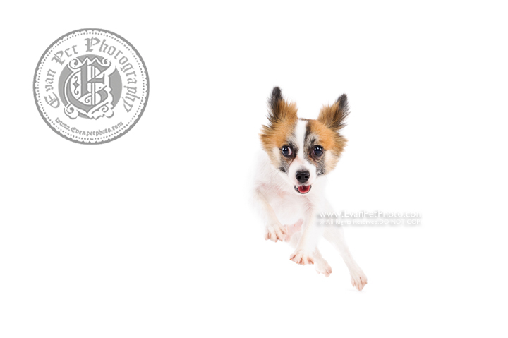 Dog Photography, Studio Dog Photography, 影樓寵物攝影, 蝴蝶犬, 蝴蝶犬攝影, 寵物攝影, 寵物影樓, 狗影樓, dog studio, 香港寵物影樓