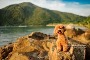 寵物攝影,寵物拍攝,專業寵物攝影,狗狗攝影,寵物寫真,寵物攝影服務,攝影服務,戶外寵物攝影,戶外狗狗攝影,專業戶外寵物攝影,香港寵物攝影,hong kong pet photographer, pet photography hong kong,寵物攝影師,香港寵物攝影師,dog photograph, hong kong dog photography, outdoor pet photography hong kong, poodle 攝影,貴婦犬,貴婦犬攝影,貴婦狗攝影,red poodle