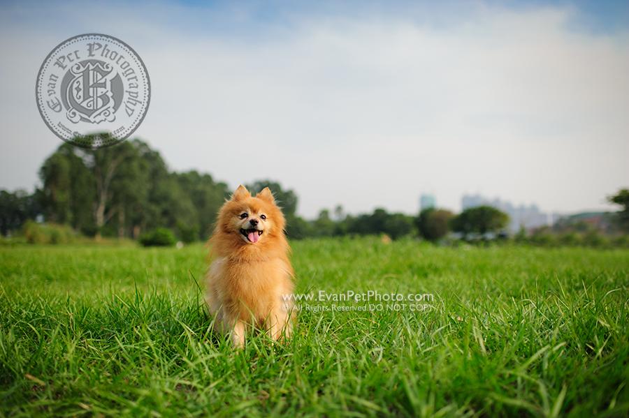 寵物攝影,寵物拍攝,專業寵物攝影,狗狗攝影,寵物寫真,寵物攝影服務,攝影服務,戶外寵物攝影,戶外狗狗攝影,專業戶外寵物攝影,香港寵物攝影,hong kong pet photographer, pet photography hong kong,寵物攝影師,香港寵物攝影師,dog photograph, hong kong dog photography, 松鼠狗,松鼠犬, outdoor pet photography hong kong, 南生圍, Pomeranian