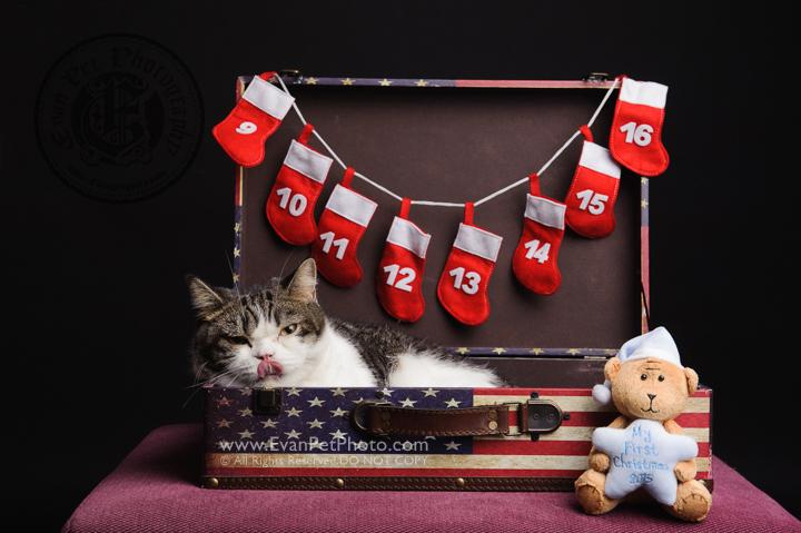 cat Photography, Studio cat Photography, 影樓寵物攝影, 貓影樓, cat photography, 英國短毛貓攝影, 寵物攝影, 寵物影樓, cat studio, 香港寵物影樓, hong kong cat studio, pet studio, British Short Hair cat, 英國短毛貓