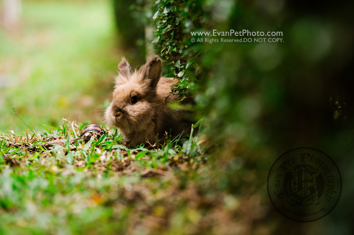 abbit photo, rabbit photography, bunny photo, rabbit picture, outdoor rabbit photography, hong kong pet photographer, 兔攝影, 兔寫真, 寵物攝影, 寵物攝影師, 寵物攝影服務, 戶外寵物攝影, 獅子兔, 獅子兔攝影, 香港寵物攝影師