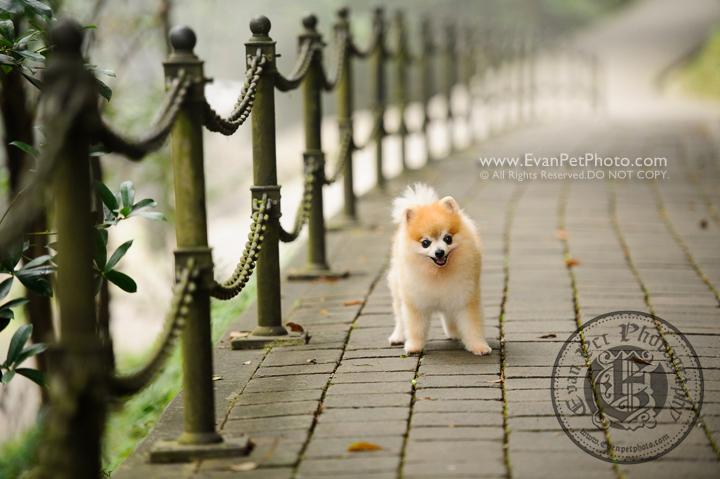 hong kong pet photographer, pet photography hong kong, 寵物寫真, 寵物攝影, 寵物攝影師, 寵物攝影服務, 專業寵物攝影, 專業戶外寵物攝影, 山頂公園, 戶外寵物攝影, 戶外狗狗攝影, 攝影服務, 松鼠狗, 松鼠狗攝影, 狗狗攝影, 香港寵物攝影師