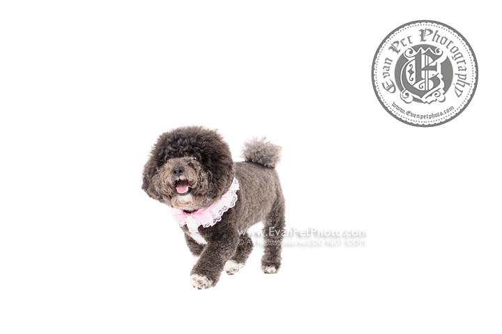 Dog Photography, Studio Dog Photography, 影樓寵物攝影,  寵物攝影, 寵物影樓, 狗影樓, dog studio, 香港寵物影樓, poodle studio, poodle 攝影,貴婦犬,貴婦狗