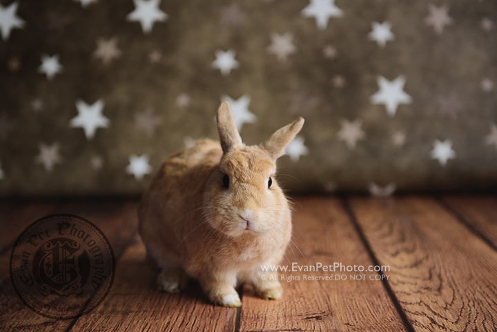 rabbit,bunny,Netherland Dwarf ,兔,兔兔攝影,rabbit photography, bunny photography, rabbit studio, 兔影樓,兔兔寫真,兔兔攝影