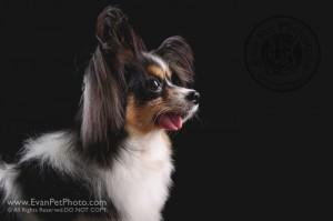 Dog Photography, Studio Dog Photography, 影樓寵物攝影, 寵物攝影, 寵物影樓, 狗影樓, dog studio, 香港寵物影樓, 蝴蝶犬