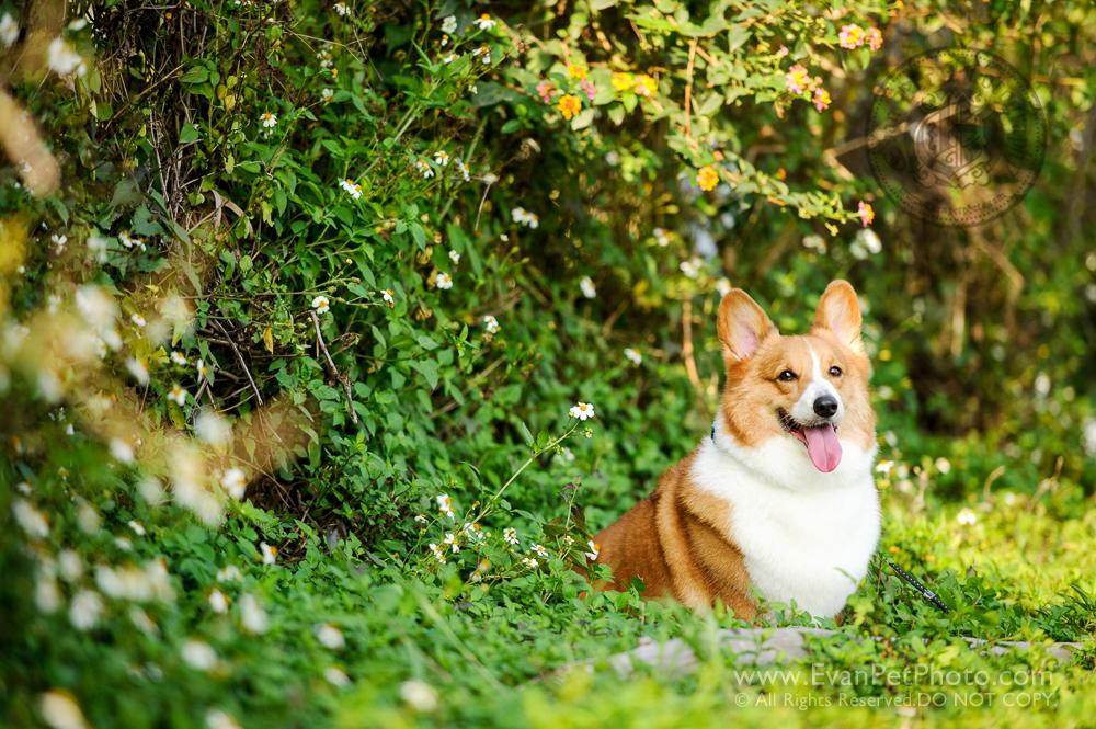 寵物攝影師,香港寵物攝影師, 哥基,哥基犬,哥基攝影, 寵物攝影,專業寵物攝影,狗狗攝影,寵物寫真,寵物攝影服務,攝影服務,戶外寵物攝影,戶外狗狗攝影,戶外哥基攝影,專業戶外寵物攝影,hong kong pet photographer, pet photography hong kong,outdoor pet photography hong kong, dog photo, dog picture, dog photography, hong kong dog photography,  outdoor dog photography,Welsh Corgi,Corgi, Welsh Corgi photo, Welsh Corgi photography
