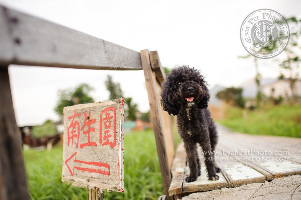寵物攝影師,香港寵物攝影師, 哥基,哥基犬,哥基攝影, 寵物攝影,專業寵物攝影,狗狗攝影,寵物寫真,寵物攝影服務,攝影服務,戶外寵物攝影,戶外狗狗攝影,戶外哥基攝影,專業戶外寵物攝影,玩具貴婦,貴婦犬,貴婦狗,hong kong pet photographer, pet photography hong kong,outdoor pet photography hong kong, dog photo, dog picture, dog photography, hong kong dog photography, outdoor dog photography, poodle, poodle photography, poodle picture, Welsh Corgi photography , black poodle