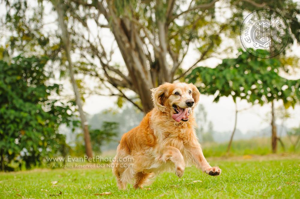 寵物攝影,寵物拍攝,專業寵物攝影,狗狗攝影,寵物寫真,寵物攝影服務,攝影服務,戶外寵物攝影,戶外狗狗攝影,專業戶外寵物攝影,香港寵物攝影,hong kong pet photographer, pet photography hong kong,寵物攝影師,香港寵物攝影師,dog photograph, hong kong dog photography, outdoor pet photography hong kong, golden retriever, 金毛尋回犬
