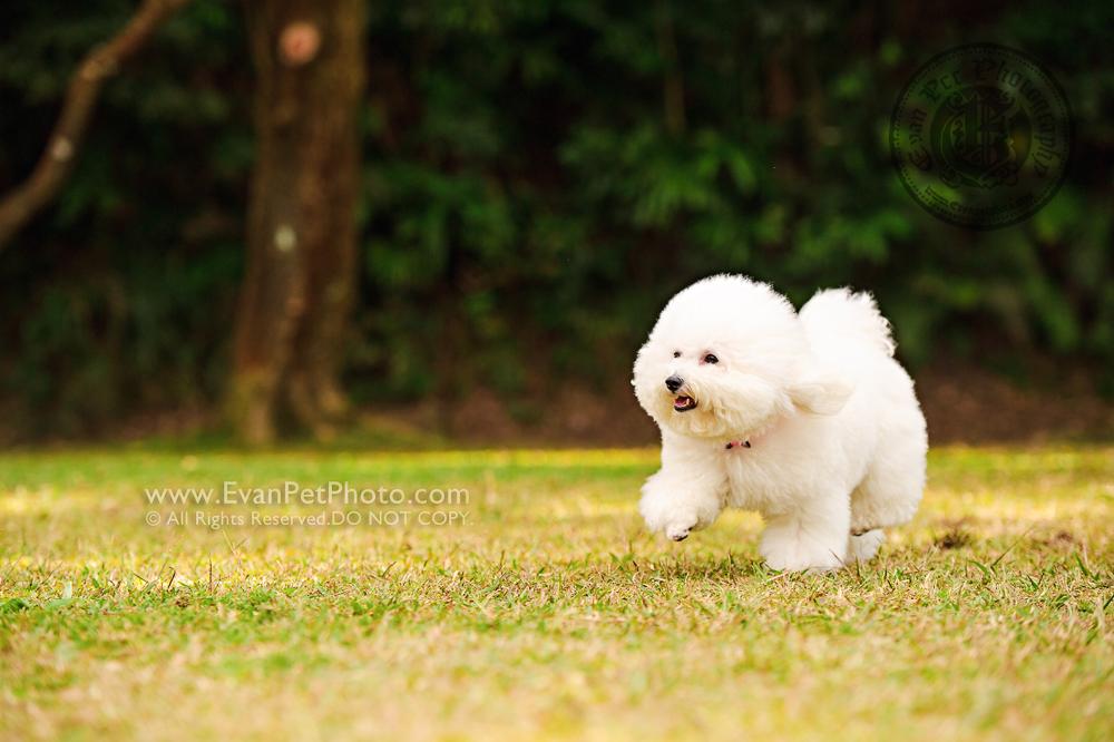 dog photo, dog photography, outdoor dog photography, hong kong pet photographer, pet photography hong kong, 狗攝影, 寵物寫真, 寵物攝影, 寵物攝影師, 寵物攝影服務, 專業寵物攝影, 專業戶外寵物攝影, 戶外寵物攝影, 戶外狗狗攝影, 攝影服務, 狗狗攝影, 香港寵物攝影師, 山頂公園,比熊犬