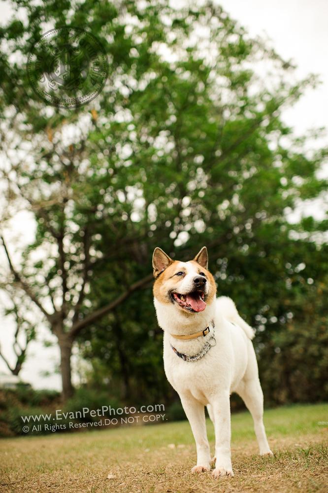 hong kong pet photographer, pet photography hong kong, 寵物寫真, 寵物攝影, 寵物攝影師, 寵物攝影服務, 專業寵物攝影, 專業戶外寵物攝影, 戶外寵物攝影, 戶外狗狗攝影, 攝影服務,poodle, poodle photography, 狗狗攝影, 香港寵物攝影師,南生圍,拉布拉多,唐狗
