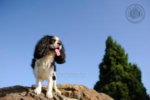 King Charles Spaniel, dog, dog photo, dog picture, dog photography, outdoor dog photography, Spaniel, King Charles, 查理斯王獵犬, 查理斯犬, 寵物攝影,專業寵物攝影,狗狗攝影,寵物寫真,寵物攝影服務,攝影服務,戶外寵物攝影,戶外狗狗攝影,專業戶外寵物攝