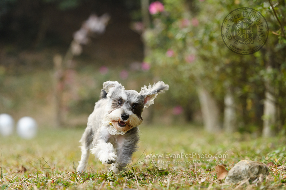 寵物攝影師,香港寵物攝影師, 寵物攝影,專業寵物攝影,狗狗攝影,寵物寫真,寵物攝影服務,攝影服務,戶外寵物攝影,戶外狗狗攝影,戶外哥基攝影,專業戶外寵物攝影, hong kong pet photographer, pet photography hong kong,outdoor pet photography hong kong, dog photo, dog picture, dog photography, hong kong dog photography, outdoor dog photography, 史納莎