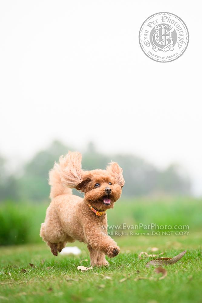 寵物攝影師,香港寵物攝影師, 寵物攝影,專業寵物攝影,狗狗攝影,寵物寫真,寵物攝影服務,攝影服務,戶外寵物攝影,戶外狗狗攝影,專業戶外寵物攝影, hong kong pet photographer, pet photography hong kong,outdoor pet photography hong kong, dog photo, dog picture, dog photography, hong kong dog photography, outdoor dog photography, 玩具貴婦,貴婦犬,貴婦狗,poodle, poodle photography, 南生圍