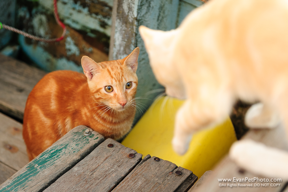 愛搭船的橫水渡之貓,cat, cat photo, cats on boat, 南生圍