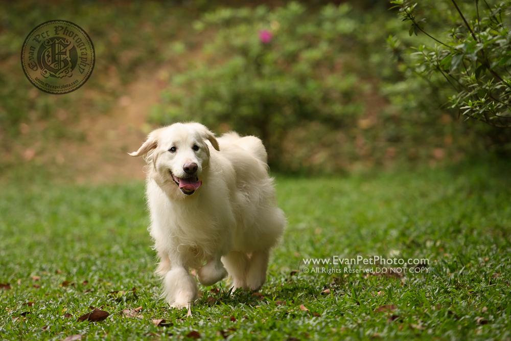 dog photo, dog photography, outdoor dog photography, 寵物攝影,專業寵物攝影,狗狗攝影,寵物寫真,寵物攝影服務,攝影服務,戶外寵物攝影,戶外狗狗攝影,專業戶外寵物攝,香港寵物攝影,金毛尋回犬,golden retriever