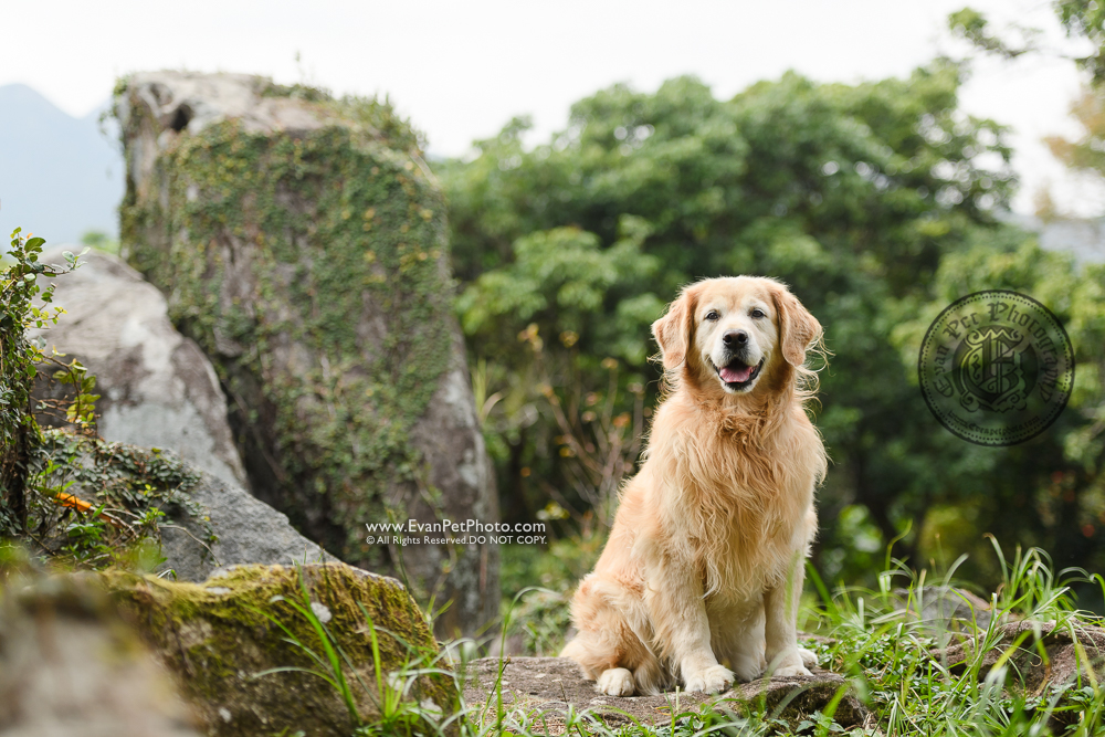 西貢獅子會自然教育中心, dog photo, dog photography, poodle, golden retriever, outdoor dog photography, 戶外寵物攝影,戶外狗攝影,wild