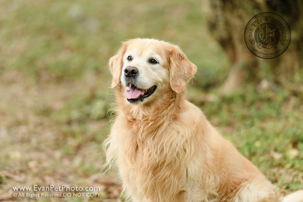 西貢獅子會自然教育中心, dog photo, dog photography, poodle, golden retriever, outdoor dog photography, 戶外寵物攝影,戶外狗攝影,wild