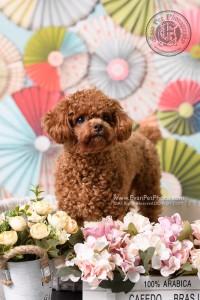 寵物攝影師,香港寵物攝影師, 寵物影樓, 狗影樓, 狗攝影, 寵物攝影, 影樓寵物攝影, 貴婦犬攝影, poodle 攝影, poodle photography, poodle pictures, poodle photo, poodle studio