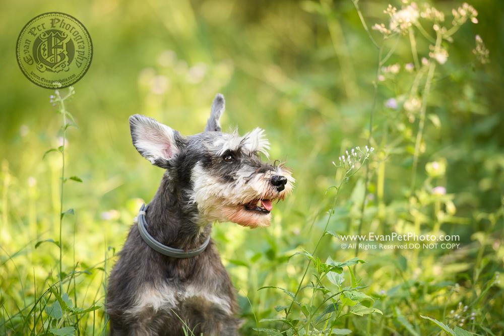 dog photo, dog photography, outdoor dog photography, dog picture, pet photography, pet photographer, dog photographer, hong kong, 寵物攝影,專業寵物攝影,狗狗攝影,寵物寫真,寵物攝影服務,攝影服務,戶外寵物攝影,戶外狗攝影,戶外攝影,戶外狗狗攝影,專業戶外寵物攝影,香港寵物攝影, hong kong pet photographer,  香港寵物攝影師, 松鼠犬, 史納莎,南生圍