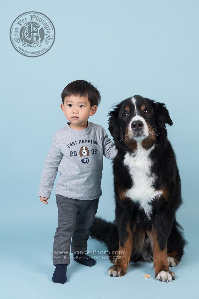 寵物攝影師,香港寵物攝影師, 寵物影樓, 狗影樓, 狗攝影, 寵物攝影, 影樓寵物攝影,bernese mountain dog,聖班納犬