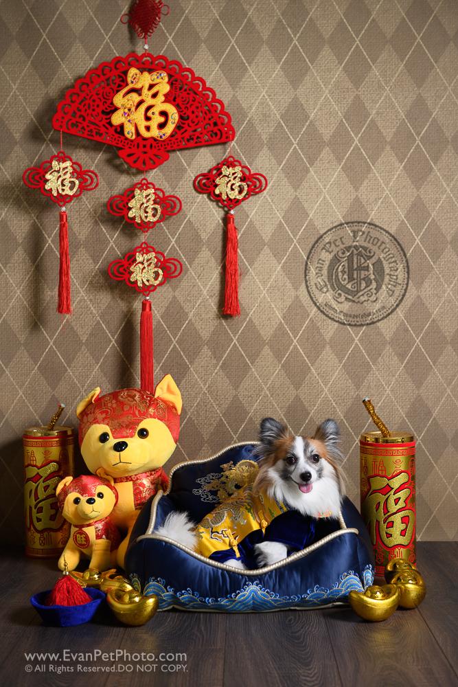 寵物攝影師,香港寵物攝影師, 寵物影樓, 狗影樓, 狗攝影, 寵物攝影, 影樓寵物攝影, 蝴蝶犬