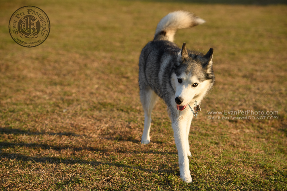 dog photo, dog photography, outdoor dog photography, dog picture, pet photography, pet photographer, dog photographer, hong kong, 寵物攝影,專業寵物攝影,狗狗攝影,寵物寫真,寵物攝影服務,攝影服務,戶外寵物攝影,戶外狗攝影,戶外攝影,戶外狗狗攝影,專業戶外寵物攝影,香港寵物攝影, hong kong pet photographer, 香港寵物攝影師,husky, husky photo, penfold park, 彭福公園, husky photography