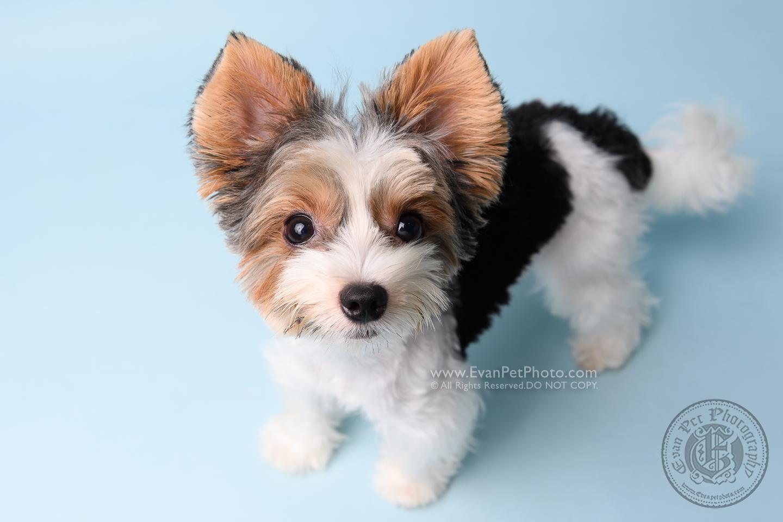 寵物攝影師,香港寵物攝影師, 寵物影樓, 狗影樓, 狗攝影, 寵物攝影, 影樓寵物攝影,biewer terrier