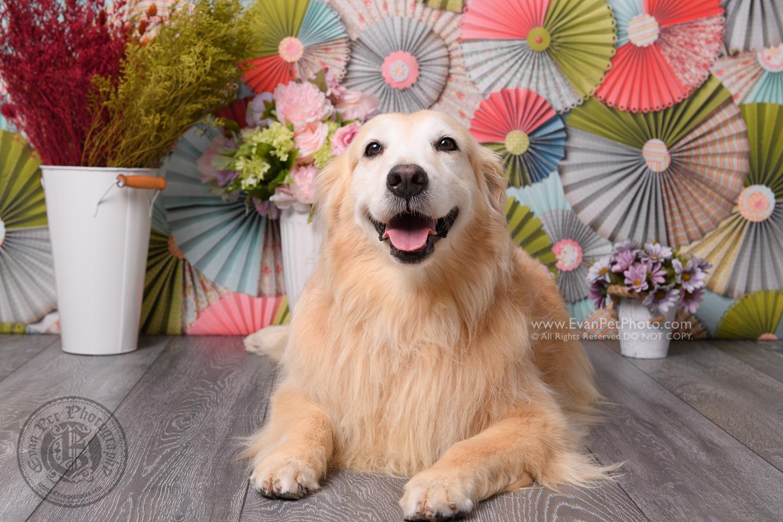 寵物攝影師,香港寵物攝影師, 寵物影樓, 狗影樓, 狗攝影, 寵物攝影, 影樓寵物攝影, 金毛尋回犬