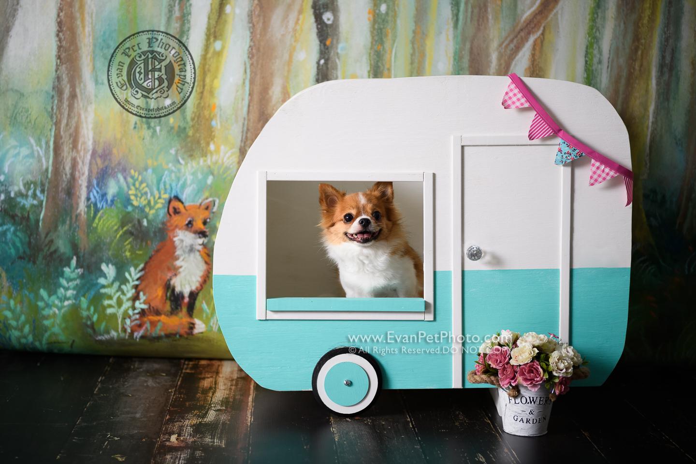 寵物攝影師,香港寵物攝影師, 寵物影樓, 狗影樓, 狗攝影, 寵物攝影, 影樓寵物攝影