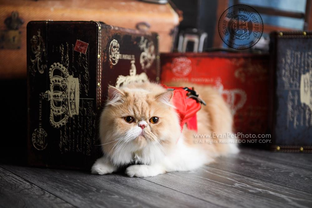 cat Photography, Studio cat Photography, 影樓寵物攝影, 貓影樓, cat photography, 英國短毛貓攝影, 寵物攝影, 寵物影樓, cat studio, 香港寵物影樓, hong kong cat studio, pet studio, British Short Hair cat, 英國短毛貓, 異國短毛貓, 家貓, 影貓收費