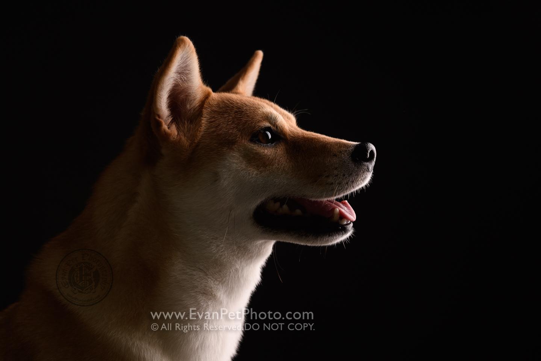 寵物攝影師,香港寵物攝影師, 寵物影樓, 狗影樓, 狗攝影, 寵物攝影, 影樓寵物攝影, 狗狗攝影,柴犬, 柴犬攝影, dog studio, pet studio, Shiba, dog photography, studio dog photography,