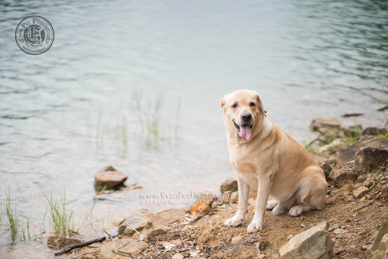 dog photo, dog photography, outdoor dog photography, 寵物攝影,專業寵物攝影,狗狗攝影,寵物寫真,寵物攝影服務,攝影服務,戶外寵物攝影,戶外狗狗攝影,專業戶外寵物攝,香港寵物攝影,拉布拉多,拉布拉多犬,Labrador Retriever