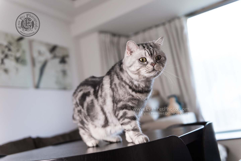 貓貓攝影, 影貓,  上門影貓, 貓影樓, 寵物攝影, 上門寵物攝影,cat photography, cat photo, American shorthair