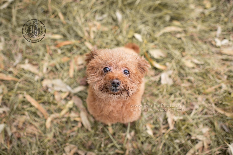 dog photo, dog photography, outdoor dog photography, dog picture, pet photography, pet photographer, dog photographer, hong kong, 寵物攝影,專業寵物攝影,狗狗攝影,寵物寫真,寵物攝影服務,攝影服務,戶外寵物攝影,戶外狗攝影,戶外攝影,戶外狗狗攝影,專業戶外寵物攝影,香港寵物攝影, hong kong pet photographer, 香港寵物攝影師, poodle,貴婦犬