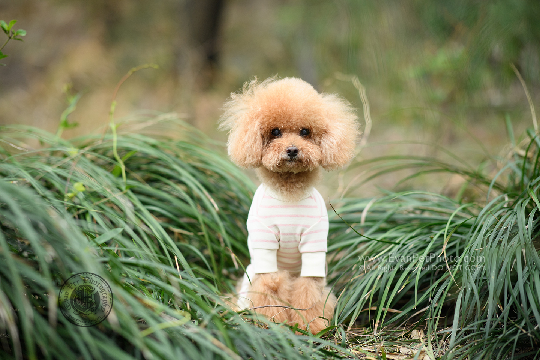 dog photo, dog photography, outdoor dog photography, dog picture, pet photography, pet photographer, dog photographer, hong kong, 寵物攝影,專業寵物攝影,狗狗攝影,寵物寫真,寵物攝影服務,攝影服務,戶外寵物攝影,戶外狗攝影,戶外攝影,戶外狗狗攝影,專業戶外寵物攝影,香港寵物攝影, hong kong pet photographer, 香港寵物攝影師,poodle,貴婦犬,東龍島,東龍洲
