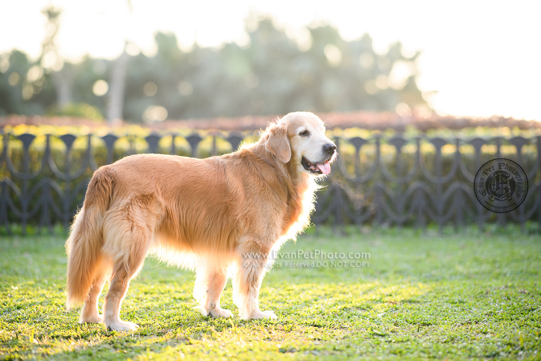 dog photo, dog photography, outdoor dog photography, dog picture, pet photography, pet photographer, dog photographer, hong kong, 寵物攝影,專業寵物攝影,狗狗攝影,寵物寫真,寵物攝影服務,攝影服務,戶外寵物攝影,戶外狗攝影,戶外攝影,戶外狗狗攝影,專業戶外寵物攝影,香港寵物攝影, hong kong pet photographer, 香港寵物攝影師,金毛尋回犬, 金毛, golden retriever, retriever, 山頂公園