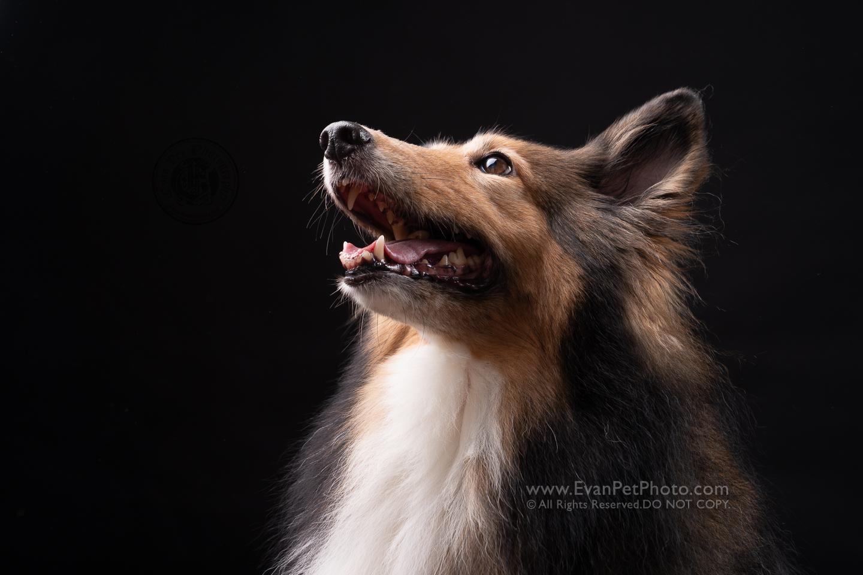 寵物攝影,寵物拍攝,專業寵物攝影,狗狗攝影,寵物寫真,寵物攝影服務,,香港寵物攝影,hong kong pet photographer, pet photography hong kong,寵物攝影師,香港寵物攝影師,dog photography, hong kong dog photography, dog studio, pet studio, dog photographer hong kong,sheepdog,牧羊犬,牧羊犬攝影, sheepdogphoto, sheepdogphotography
