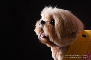 寵物攝影,寵物拍攝,專業寵物攝影,狗狗攝影,寵物寫真,寵物攝影服務,,香港寵物攝影,hong kong pet photographer, pet photography hong kong,寵物攝影師,香港寵物攝影師,dog photography, hong kong dog photography, dog studio, pet studio, dog photographer hong kong,松鼠,松鼠犬,西施犬