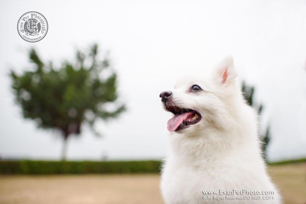 dog photo, dog photography, outdoor dog photography, dog picture, pet photography, pet photographer, dog photographer, hong kong, 寵物攝影,專業寵物攝影,狗狗攝影,寵物寫真,寵物攝影服務,攝影服務,戶外寵物攝影,戶外狗攝影,戶外攝影,戶外狗狗攝影,專業戶外寵物攝影,香港寵物攝影, hong kong pet photographer, 香港寵物攝影師,銀狐犬,silverfox, 數碼港海濱公園