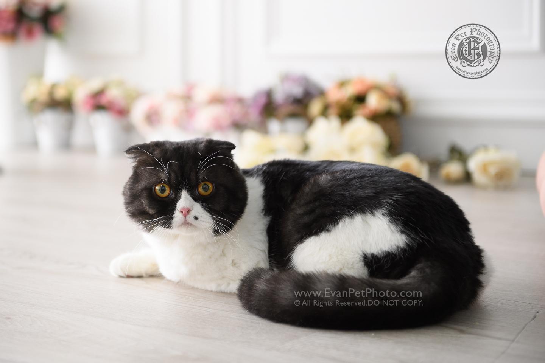 cat Photography, Studio cat Photography, 影樓寵物攝影, 貓影樓, cat photography, 英國短毛貓攝影, 寵物攝影, 寵物影樓, cat studio, 香港寵物影樓, hong kong cat studio, pet studio, British Short Hair cat, 英國短毛貓, 異國短毛貓