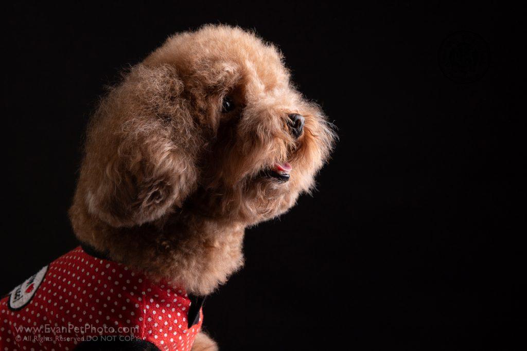 寵物攝影,寵物拍攝,專業寵物攝影,狗狗攝影,寵物寫真,寵物攝影服務,,香港寵物攝影,hong kong pet photographer, pet photography hong kong,寵物攝影師,香港寵物攝影師,dog photography, hong kong dog photography, dog studio, pet studio, dog photographer hong kong,poodle,poodle攝影