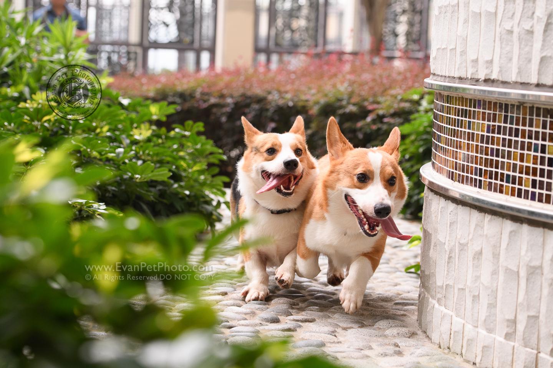 dog photo, dog photography, outdoor dog photography, dog picture, pet photography, pet photographer, dog photographer, hong kong, 寵物攝影,專業寵物攝影,狗狗攝影,寵物寫真,寵物攝影服務,攝影服務,戶外寵物攝影,戶外狗攝影,戶外攝影,戶外狗狗攝影,專業戶外寵物攝影,香港寵物攝影, hong kong pet photographer, 香港寵物攝影師, 上門寵物攝影, 哥基犬, 哥基攝影, corgi